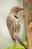 Male Northern Flicker at log suet feeder in my backyard