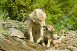 Gray Wolf pup kissing its mother, sitting on a rock