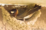 Cliff Swallow building mud nest