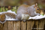 Western Grey Squirrel eating, while sitting on the edge of a wine barrel planter partially filled with snow