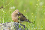 Mourning Dove sitting on rocks surrounded by wildflowers