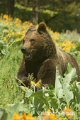 Grizzly or Brown Bear 1.5 year old cub enthusiastically running across the field of Arrow-leaved Balsamroot wildflowers. enthusiastically