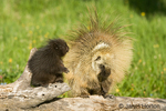 Adult and young Common Porcupine looking at each other on a log in the meadow.