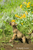 Gray Wolf pup standing at den entrance, howling in response to nearby adult wolves howling, surrounded by Arrowleaf Balsamroot wildflowers.