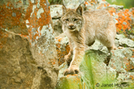 Sub-adult Canada Lynx climbing on lichen-covered rocks.