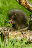 Young Common Porcupine sitting on log in meadow, eating a Sticky Geranium wildflower.