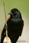 Red-winged Blackbird close-up, sitting on cattails