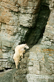 Mountain Goat climbing steep, rocky cliff