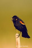 Male Red-winged Blackbird calling, showing wingpatch, while sitting on a cattail.