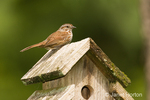 Song Sparrow adult sitting on wood birdhouse