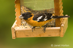 Male Black-headed Grosbeak sitting on bird feeder