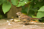 Juvenile Song Sparrow on wood bench in backyard