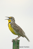 Western Meadowlark singing while sitting on a metal post