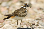 Killdeer with open mouth, walking on rocky shoreline