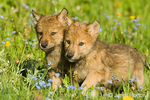 Two Gray Wolf pups playing in a meadow of wildflowers