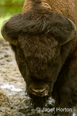 American Bison drinking from a puddle close-up