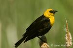 Male Yellow-headed Blackbird sitting on cattails