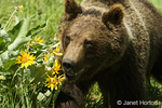 Grizzly or Brown Bear 1.5 year old cub running across the field of Arrow-leaved Balsamroot wildflowers.