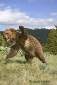 Adult male Grizzly Bear charging, growling and ready to fight