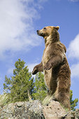 Adult male Grizzly Bear standing on rocky cliff