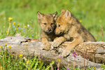 Two Gray Wolf pups resting with their feet on a log