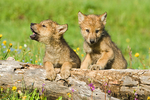 Two Gray Wolf pups looking over log in a meadow.  One is howling in reaction to other nearby adult wolves howling.
