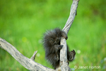 Young Common Porcupine clinging to dead tree branch