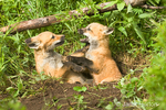 Two Red Fox kits fighting in den entrance on the side of a hill in the forest.