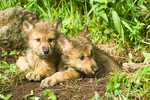 Two Gray Wolf pups resting at den entrance on the side of a hill in the woods.