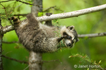 Common Raccoon hanging from a tree branch with only three paws.