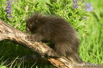 Juvenile Common Porcupine climbing on a log in meadow filled with wildflowers.