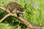 Juvenile Common Raccoon climbing on a log in a wildflower-filled meadow.