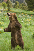 Adult male Grizzly Bear standing up in a wildflower-filled meadow.  