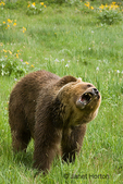 Adult male Grizzly Bear standing on four feet and growling in a wildflower-covered meadow.
