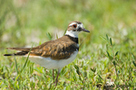 Killdeer standing in a grassy field.
