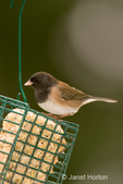 Female Dark-eyed Junco eating from a metal suet feeder in backyard
