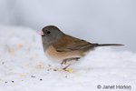 Female Dark-eyed Junco standing on one leg on snow-covered bench in the backyard