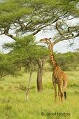 Maasai Giraffe eating from top of acacia tree