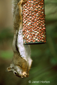 Douglas' Squirrel or Chickaree hanging upside down, eating peanuts from bird feeder