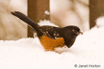 Male Spotted Towhee digging in the snow for bird seeds.  Forages on the ground by scratching vigorously for seeds and insects.