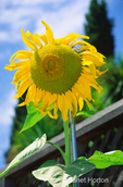 Sunflower staked up by post beside wood fence in urban backyard