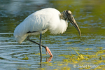 Wood Stork feeding in pond with foot in the air.  Uncommon and very local in muddy ponds where declining water levels concentrate fish.
