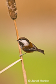 Chestnut-backed Chickadee sitting on a cattail in the backyard