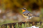 Varied Thrush perched on the edge of a wine barrel with snow in it in a backyard.