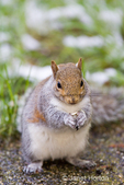 Plump Western Grey Squirrel scavenging for seeds near snow-covered grass