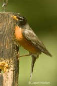 Male American Robin perched on a log suet feeder, taken in our backyard.  Robins are most often seen on lawns and fields searching for earthworms, but this one really wanted a some of the suet, and worked very hard to finally land on and hang onto the suet feeder.