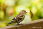 Female Pine Siskin perched on the back of a wood bench in our backyard.  Whereas it loves to eat seeds from our bird feeders, it is naturally found in open forests where it feeds on buds an seeds of birches, alders, pines, and other trees; it also takes small insects.