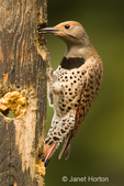 Female Northern Flicker at log suet feeder in our backyard.  Unlike other woodpeckers, this species forages largely on the ground, feeding on ants.  However, our flickers are particularly fond of my homemade suet which draws them to our log suet feeder many times a day.