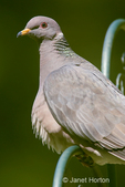 Close-up of a Band-tailed Pigeon perched on a metal rack used to hold bird feeders.
