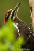 Pileated Woodpecker close-up perched on a log suet feeder.